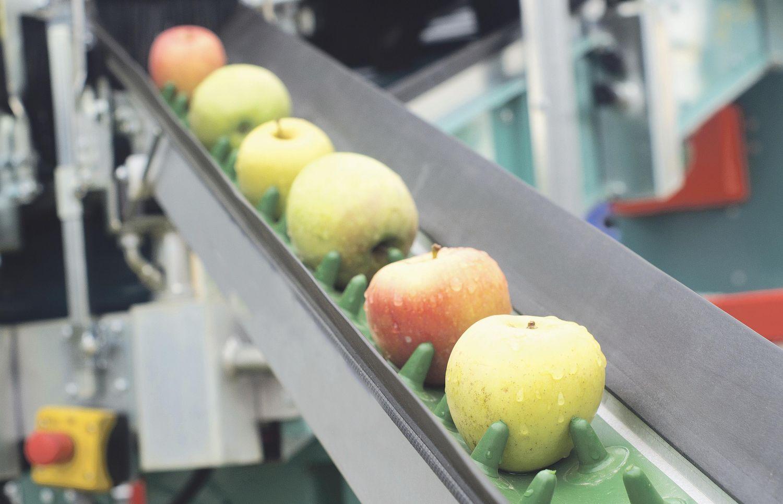 Äpfel auf einem Transportband. Eine Verpackungsmaschine bei der Arbeit